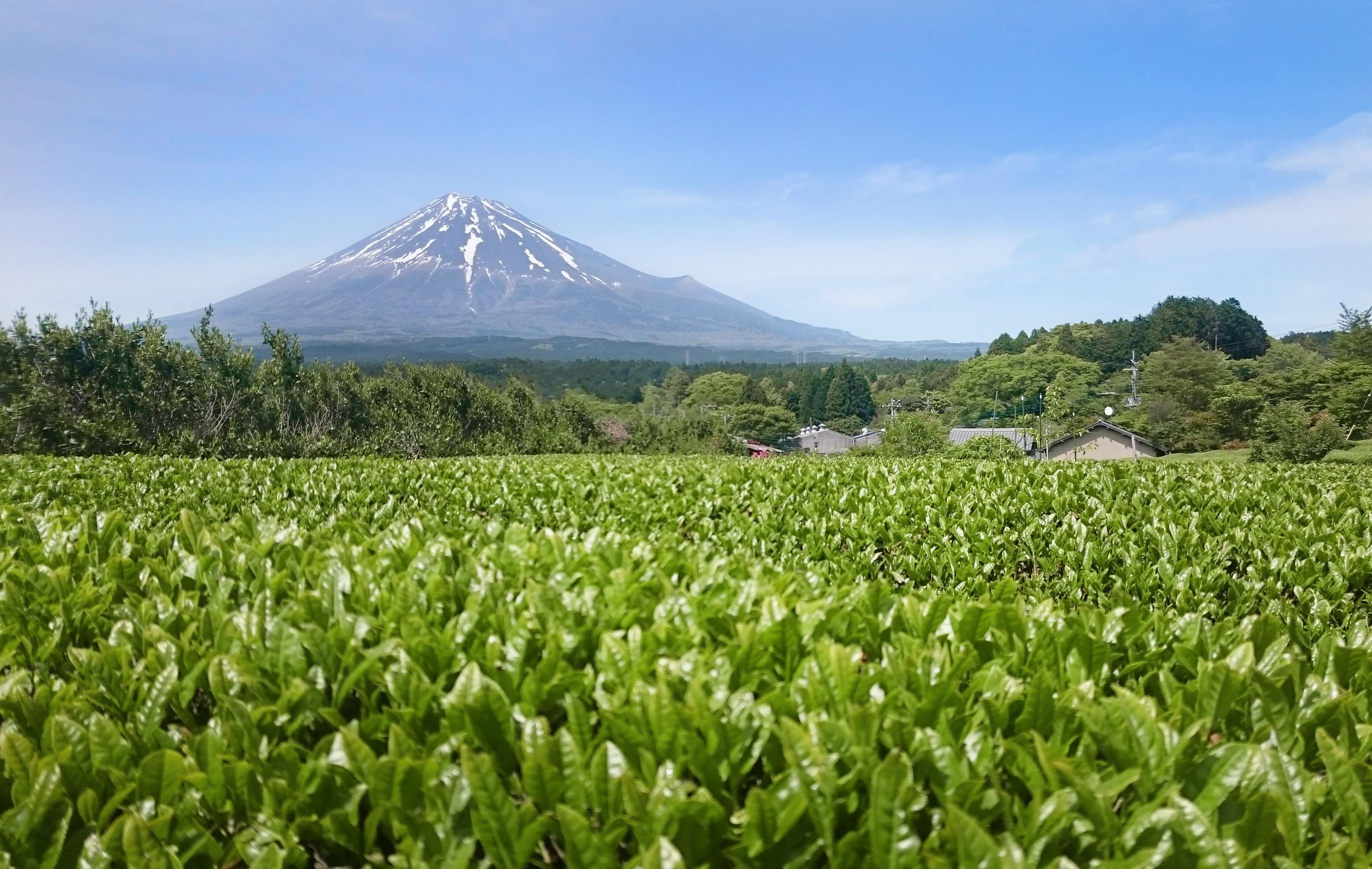 Matcha-Tea_Fuji-a-čajové-pole